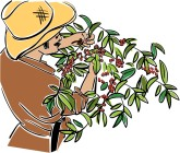 Coffee Harvest Clipart