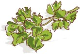 Fresh Parsley Clipart